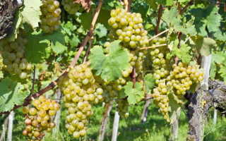 Как поливать виноград в разное время года