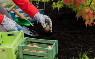 Тонкости посадки тюльпанов и что делать, если опоздали с этой процедурой