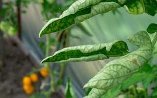 От чего скручиваются листья у томатов и как решить эту проблему?