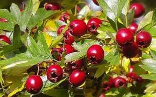 Боярышник: выращивание украинского боярышника