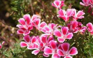 Выращивание кларкии из семян: изящный цветок на вашей клумбе