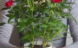 Посадка миниатюрных роз и уход за ними: прекрасное украшение садового участка