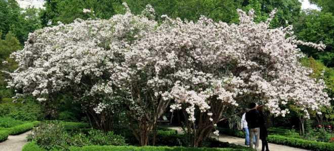 Кольквиция: что любит растение, посадка и уход