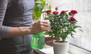 Комнатные розы: как продлить жизнь капризного растения в цветочном горшке