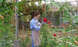 Раствор из молока и йода против тли на розах