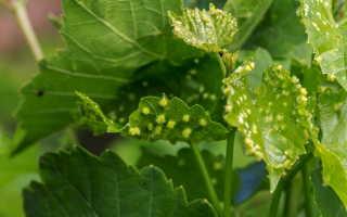 Эффективная защита саженцев винограда от вредителей