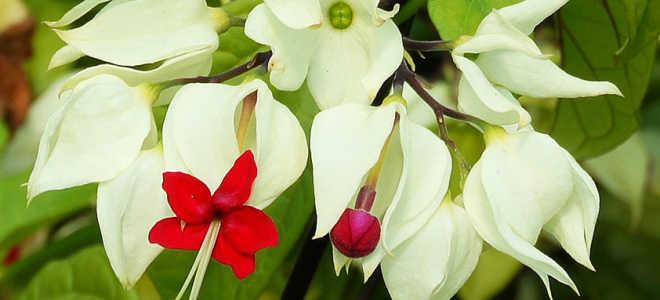 Клеродендрум Томпсона – советы по выращиванию и уходу