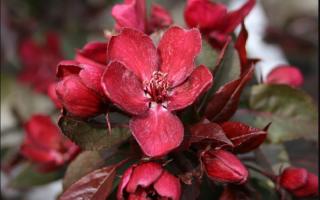 Лучшие сорта декоративных яблонь — как посадить и ухаживать за ними