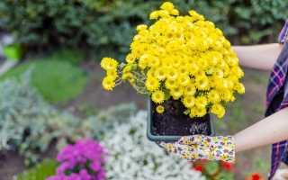 Посадка хризантем осенью: как помочь им пережить зиму