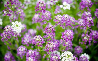 Пришла пора сажать алиссум семенами: советы по успешному выращиванию от опытного цветовода