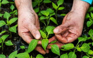 Выращиваем перец в Сибири — современному огороднику все по плечу