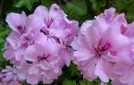 Пеларгония – неприхотливый комнатный цветок