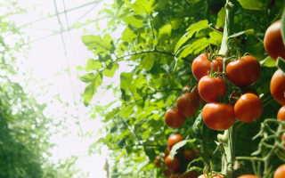 Чтобы собрать богатый урожай томатов