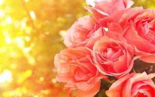 Уход за розами в июле — разгар лета не повод расслабляться
