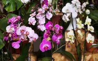 Что делать с цветоносом орхидеи после цветения, чтобы следующее наступило быстрее