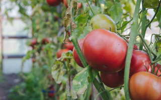 В чем особенности методов Маслова по выращиванию томатов