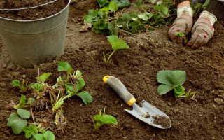 Обрезаем клубнику после сбора урожая со знанием дела