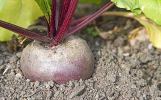 Чем подкормить свеклу для небывалого урожая