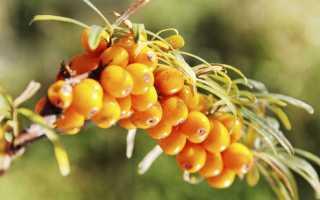 Посадка, обрезка и сбор урожая облепихи