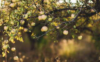 Как и какие выбрать зимостойкие сорта яблонь