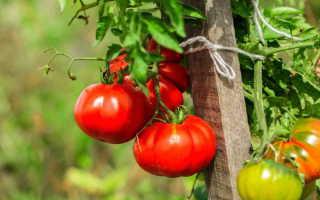Крупноплодный томат-скороспелка Король ранних — настоящий монарх на ваших грядках