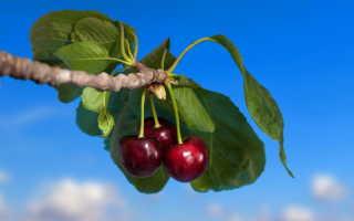 Подкормка черешни и вишни весной – какие удобрения подойдут