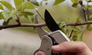 Летняя обрезка семечковых и косточковых деревьев