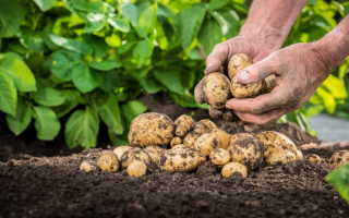 Вырождается картофель? Воспользуйтесь одним из способов обновления корнеплодов