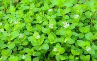 Как избавиться от мокрицы в огороде: основные методы