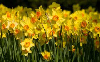 Тонкости выращивания нарциссов — как получить здоровые и красивые растения