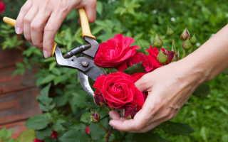 Лучшие сорта чайно-гибридных роз для любителей цветоводства