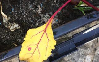 Желтеют листья у свеклы: что делать, чтобы не лишиться урожая