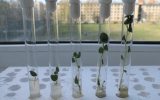 Меристема растений: преимущества, основные правила