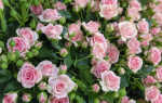 Сложно ли вырастить розовый куст из семечка