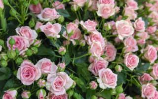 Тонкости размножения садовых роз методом осеннего черенкования