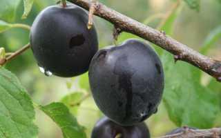 Черный абрикос разных сортов: стабильный урожай и интересный вкус