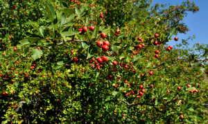 Посадка боярышника: рекомендации по выращиванию, уходу