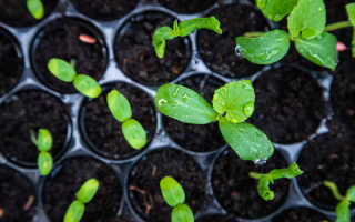 Сохраните свою рассаду: основные советы, как избежать перерастания