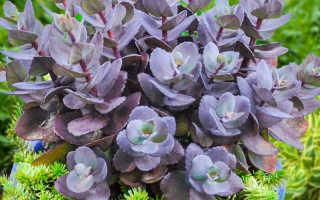 Самые эффектные многолетние засухоустойчивые растения