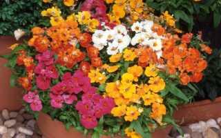 Роскошная немезия: неприхотливый экзотический цветок