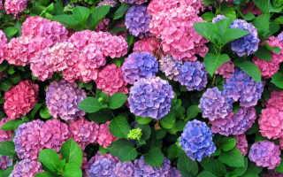 Пышное цветение гортензии летом: правила внесения удобрений