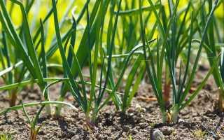 Выгонка лука на зелень: советы по проращиванию и посадке