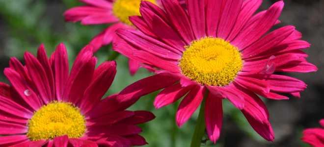 Выращивание пиретрума: разновидности, посадка и уход