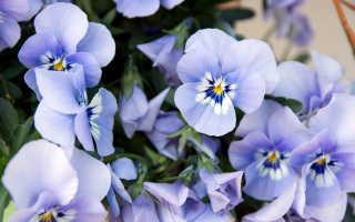 Пышное цветение фиалки: советы по выращиванию