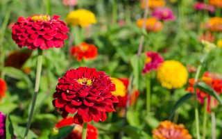 Цинии в открытом грунте: советы по уходу и выращиванию