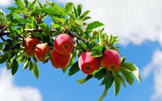 Если у вас осыпаются яблоки – необходима подкормка