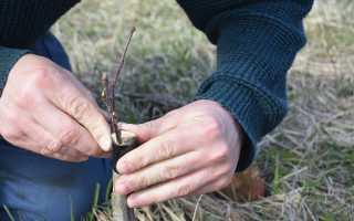 Прививка яблони весной для начинающих проверенные методы и видео
