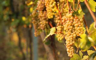Пересадка винограда на новое место: как и когда лучше пересадить