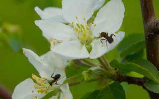Избавление от муравьев на плодовых деревьях и кустах