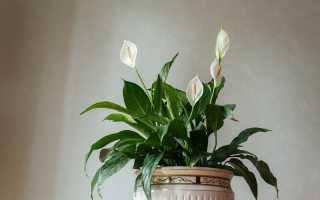 Советы по выращиванию комнатного растения спатифиллум (женское счастье)